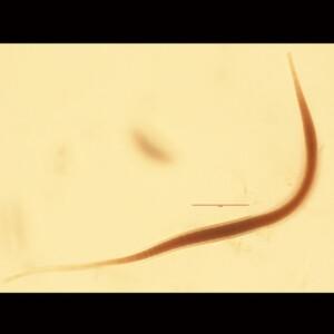 Ammatoidea normannii