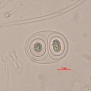 Gloeothece membranacea