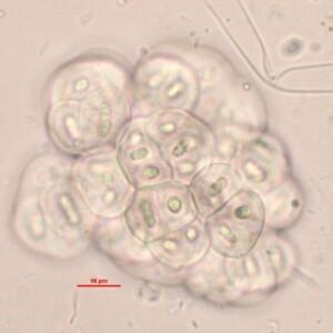 Gloeothece opalothecata