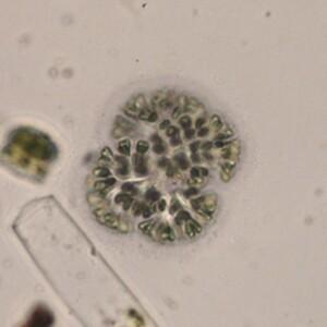 Gomphosphaeria semen vitis