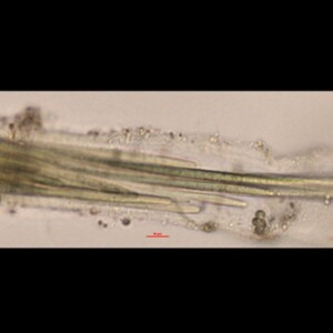 Microcoleus lacustris