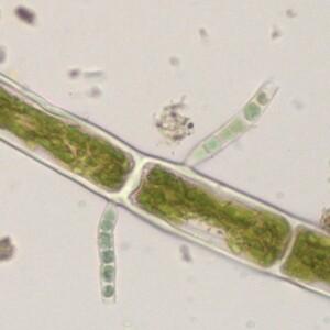 Stichosiphon regularis